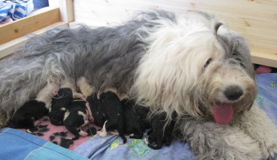 Mustikka ja vastasyntyneet pennut torstaina 9. kesäkuuta 2011.