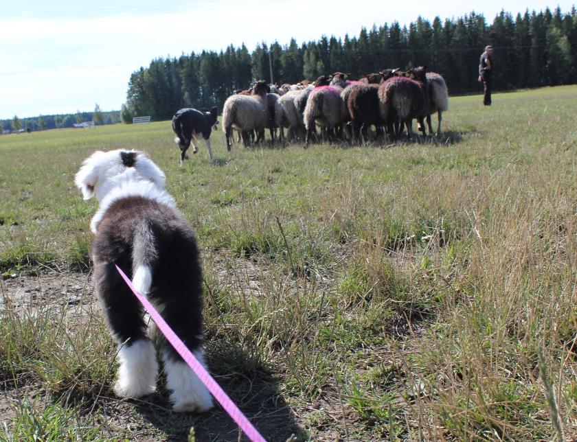 Jäbäkin katsoo lampaita